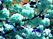 Kwanzan abstrato Cherry Blossoms imagens de stock royalty free