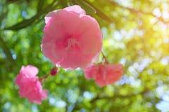 Kwanzan Cherry Blossom Stock Photo