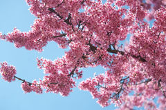 Kwanzan Cherry tree bloom against blue sky Stock Images