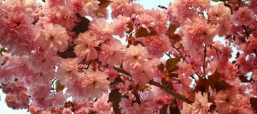 Kwanzan Cherry Tree Panorama with Pink Blooms. A profusion of spring blossoms on cherry tree (Prunus semulata) branch Royalty Free Stock Image