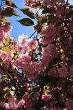 Kwanzan japanischer Cherry Blossom Tree lizenzfreies stockfoto