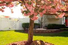 Kwanzan japanischer Cherry Blossom Tree stockbilder