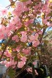 Kwanzan japanischer Cherry Blossom Tree Vertical lizenzfreie stockfotografie