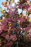 Kwanzan japanischer Cherry Blossom Tree Vertical lizenzfreie stockfotos