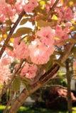 Kwanzan japanischer Cherry Blossom Tree Vertical lizenzfreies stockbild