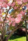 Kwanzan japanischer Cherry Blossom Tree Vertical stockfotografie
