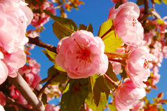 Kwanzan Kirschblüte Stockfotografie