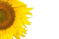 Zonnebloem op witte achtergrond Stock Fotografie