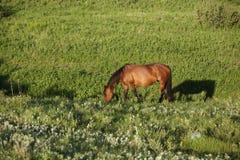 Kwartalny koński kobyli pasanie w zielonym paśniku w lecie z cieniem zdjęcie stock