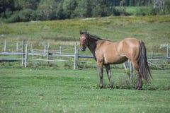 Kwartalny koński wałach stoi w polu Zdjęcia Royalty Free