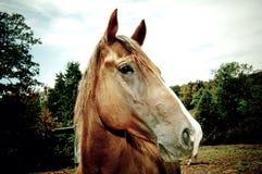 Kwartalny koń Obraz Royalty Free