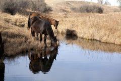 Kwartalny koni pić Obraz Royalty Free