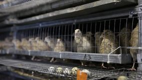 Kwartels in kooien bij gevogeltelandbouwbedrijf stock videobeelden