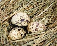 Kwartelseieren in een nest van hooi Stock Fotografie