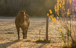 Kwartpaard in Frosty Dawn Royalty-vrije Stock Fotografie