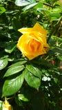 Kweekt een struik van geel toenam stock afbeelding