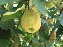 Kweepeer-boom met vruchten Royalty-vrije Stock Foto