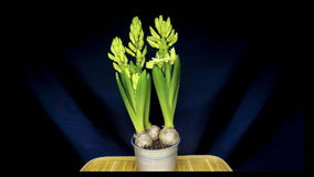 Kwekend de bollen van de hyacintbloem in pot in snelle motie wordt geïsoleerd die stock footage