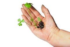 Kwekend kleine groene installatie in een geïsoleerder hand Royalty-vrije Stock Afbeelding