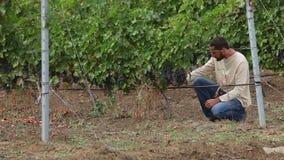 Kweker die de wijndruiven oogsten stock video