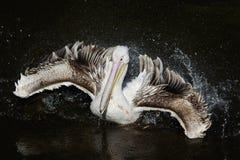 Kwestie die van de vogel de witte Pelikaan op het donkere meer drijven die wat bespuiten Royalty-vrije Stock Foto