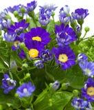 Kwiaciarni cynerarie Obraz Royalty Free
