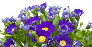 Kwiaciarni cynerarie Obraz Stock