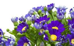 Kwiaciarni cynerarie Zdjęcia Stock
