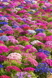 Kwiaciarni cynerarie Zdjęcia Royalty Free