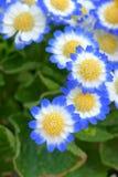 Kwiaciarni cynerarie Fotografia Stock