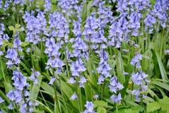 Kwiaciasta łąka purpurowi kwiaty Zdjęcia Stock