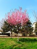 Kwiaciasty drzewo Obraz Stock