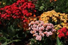 Kwiaciasty ogród z kalandiva Fotografia Royalty Free
