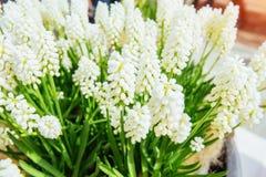 Kwiatów łóżka z białych kwiatów muscari Karpacki, Ukraina, Europa Fotografia Royalty Free