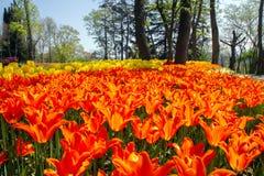 Kwiatów łóżka z pomarańczowymi i żółtymi tulipanami w tulipanowym festiwalu Emirgan parku, Istanbuł, Turcja fotografia stock