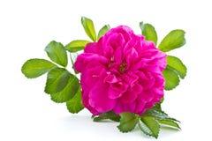 kwiatów biodra Obrazy Royalty Free