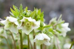 kwiatów ciemierniki Zdjęcie Royalty Free