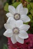 Kwiatów clementis Obraz Royalty Free
