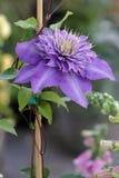 Kwiatów clementis Zdjęcia Royalty Free