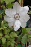 Kwiatów clementis Obraz Stock
