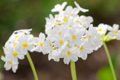 kwiatów dosyć mały biel Zdjęcia Stock