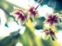 Kwiatów drzew Phyllanthus pulcher zdjęcie royalty free