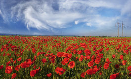 Kwiatów dzicy maczki Fotografia Stock