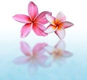 kwiatów frangipani menchie Fotografia Stock