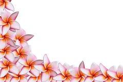 kwiatów frangipani menchie Fotografia Royalty Free