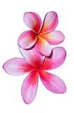 kwiatów frangipani menchie Zdjęcie Royalty Free