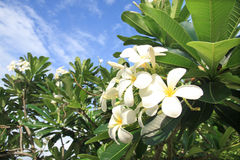 kwiatów frangipani ogródu drzewo Obraz Royalty Free