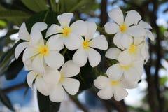 kwiatów frangipani ogródu drzewo Zdjęcie Stock