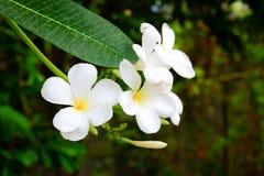 kwiatów frangipani ogródu drzewo Obraz Stock