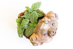 Kwiatów garnków gliny śmieszny piggie Obraz Stock